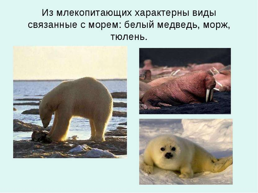 Из млекопитающих характерны виды связанные с морем: белый медведь, морж, тюлень.