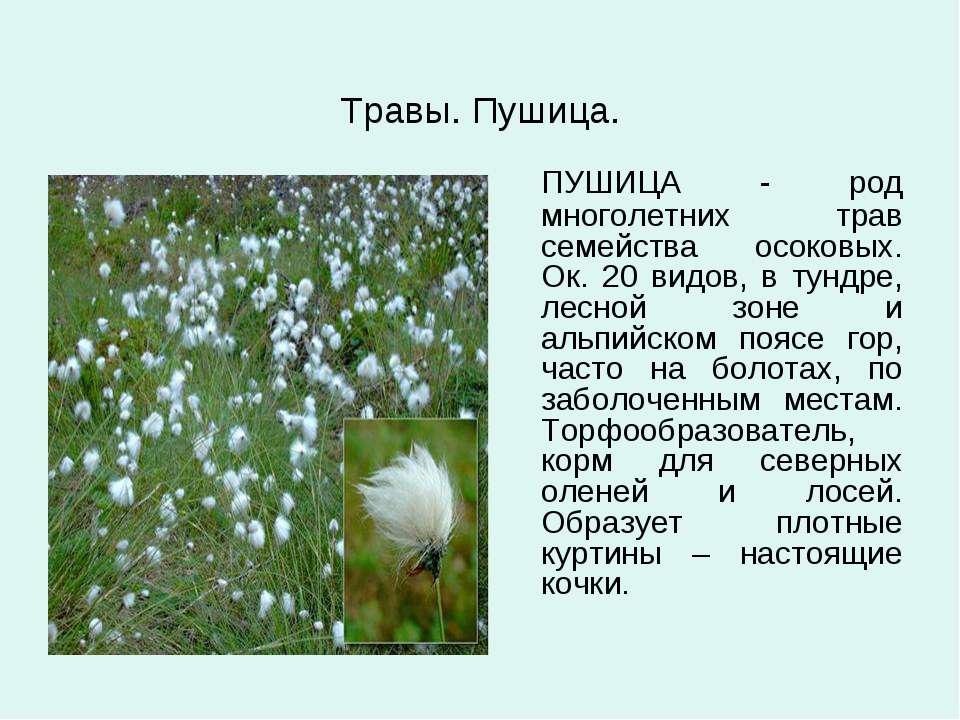 Травы. Пушица. ПУШИЦА - род многолетних трав семейства осоковых. Ок. 20 видов...