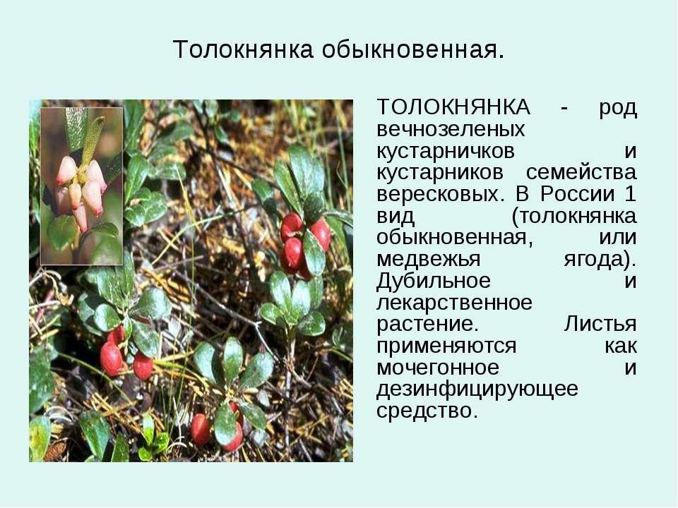Толокнянка обыкновенная. ТОЛОКНЯНКА - род вечнозеленых кустарничков и кустарн...
