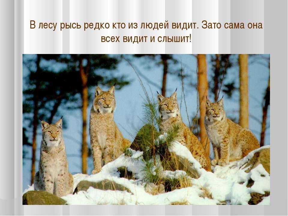 В лесу рысь редко кто из людей видит. Зато сама она всех видит и слышит!