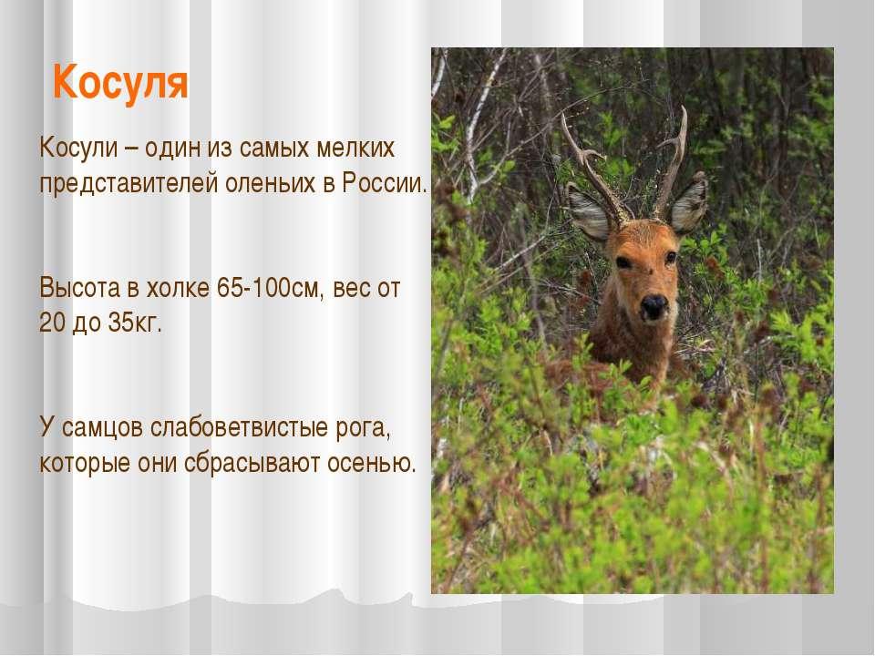 Косуля Косули – один из самых мелких представителей оленьих в России. Высота ...