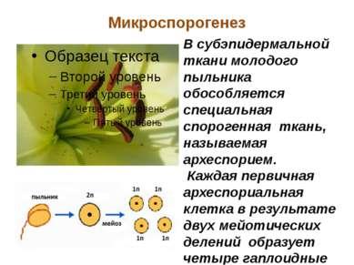 Микроспорогенез В субэпидермальной ткани молодого пыльника обособляется специ...