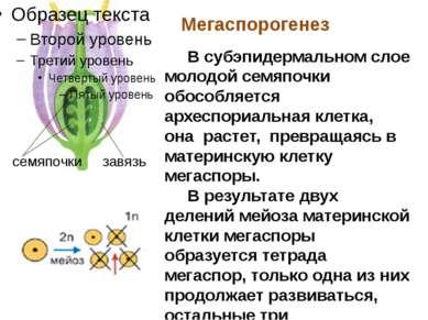 Мегаспорогенез семяпочки завязь В субэпидермальном слое молодой семяпочки обо...
