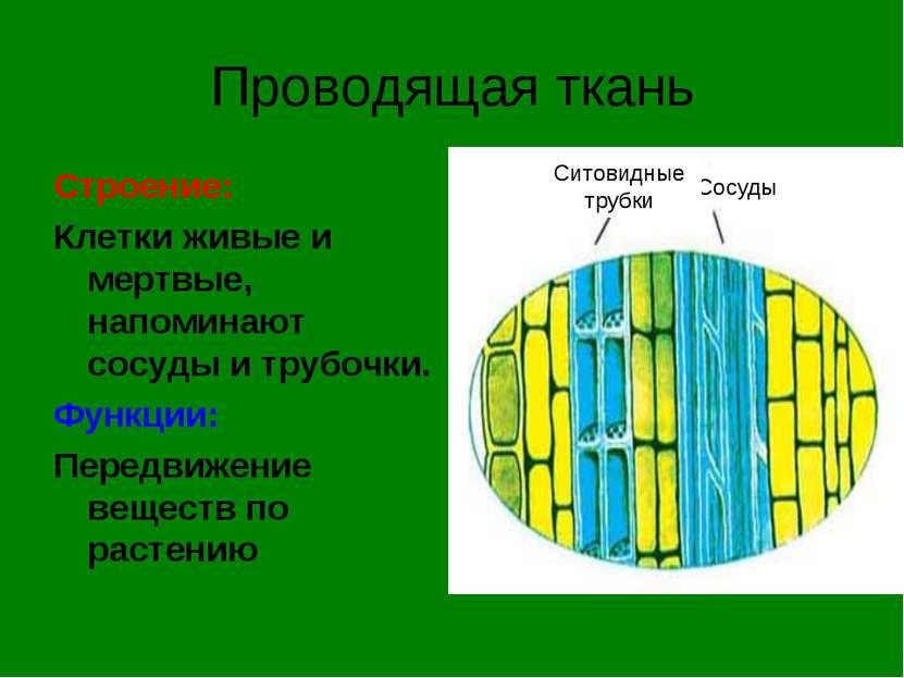 Проводящая ткань Строение: Клетки живые и мертвые, напоминают сосуды и трубоч...