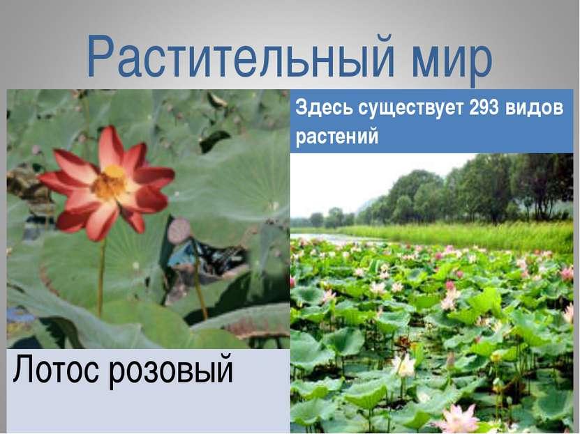 Растительный мир Здесь существует 293 видов растений Лотос розовый
