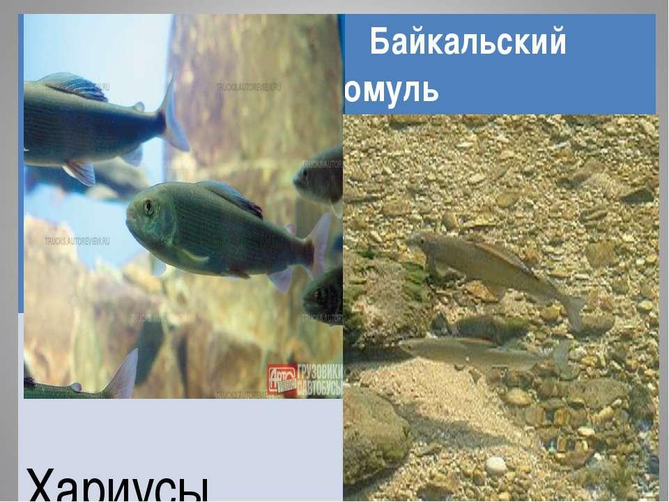 Байкальский омуль Хариусы