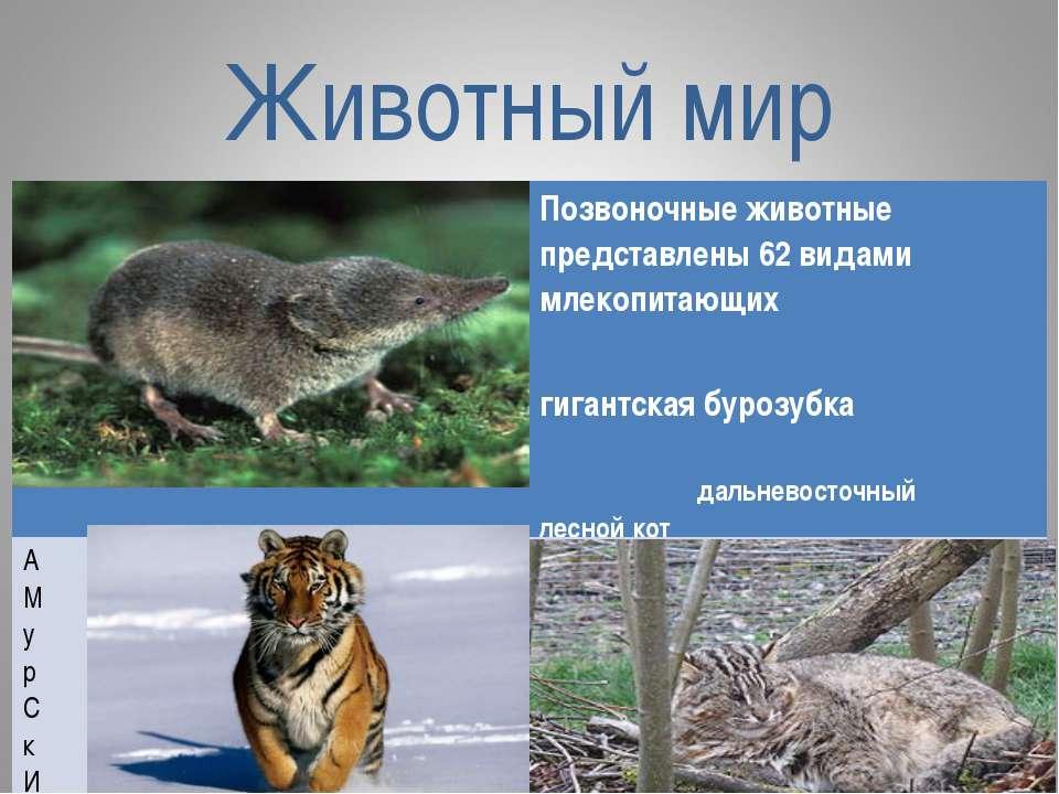 Животный мир Позвоночные животные представлены 62 видами млекопитающих гигант...