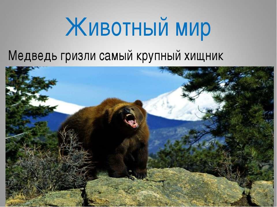 Животный мир Медведь гризли самый крупный хищник
