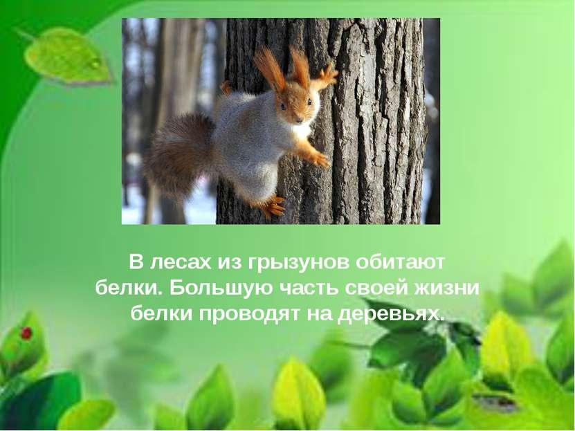 В лесах из грызунов обитают белки. Большую часть своей жизни белки проводят н...