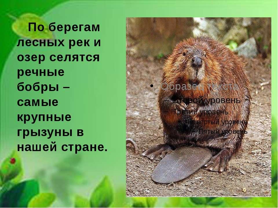 По берегам лесных рек и озер селятся речные бобры – самые крупные грызуны в н...