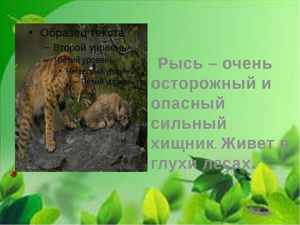 Рысь – очень осторожный и опасный сильный хищник. Живет в глухи лесах.