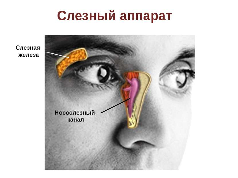Слезный аппарат Носослезный канал Слезная железа
