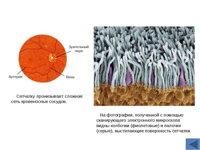 На фотографии, полученной с помощью сканирующего электронного микроскопа видн...