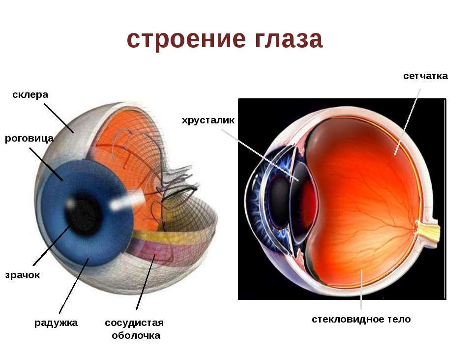 строение глаза склера роговица зрачок радужка сосудистая оболочка хрусталик с...