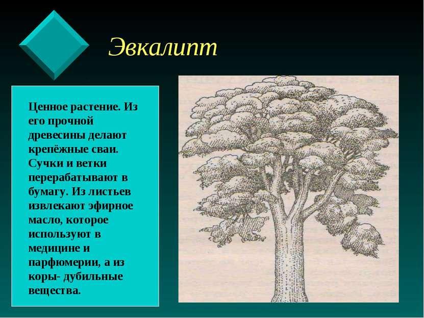 Эвкалипт Ценное растение. Из его прочной древесины делают крепёжные сваи. Суч...