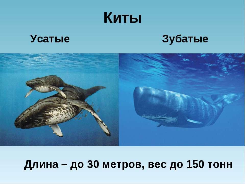 Киты Усатые Зубатые Длина – до 30 метров, вес до 150 тонн
