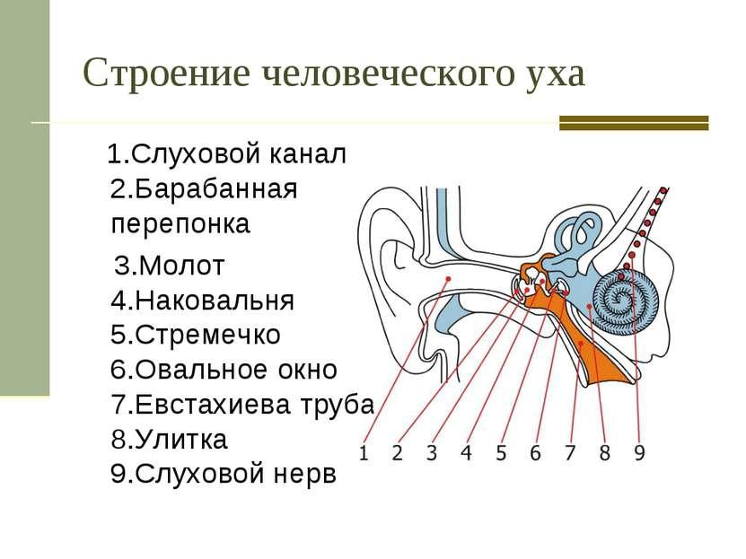 Строение человеческого уха 1.Слуховой канал 2.Барабанная перепонка 3.Молот 4....