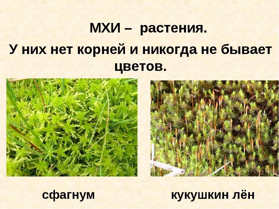 МХИ – растения. У них нет корней и никогда не бывает цветов. сфагнум кукушкин...