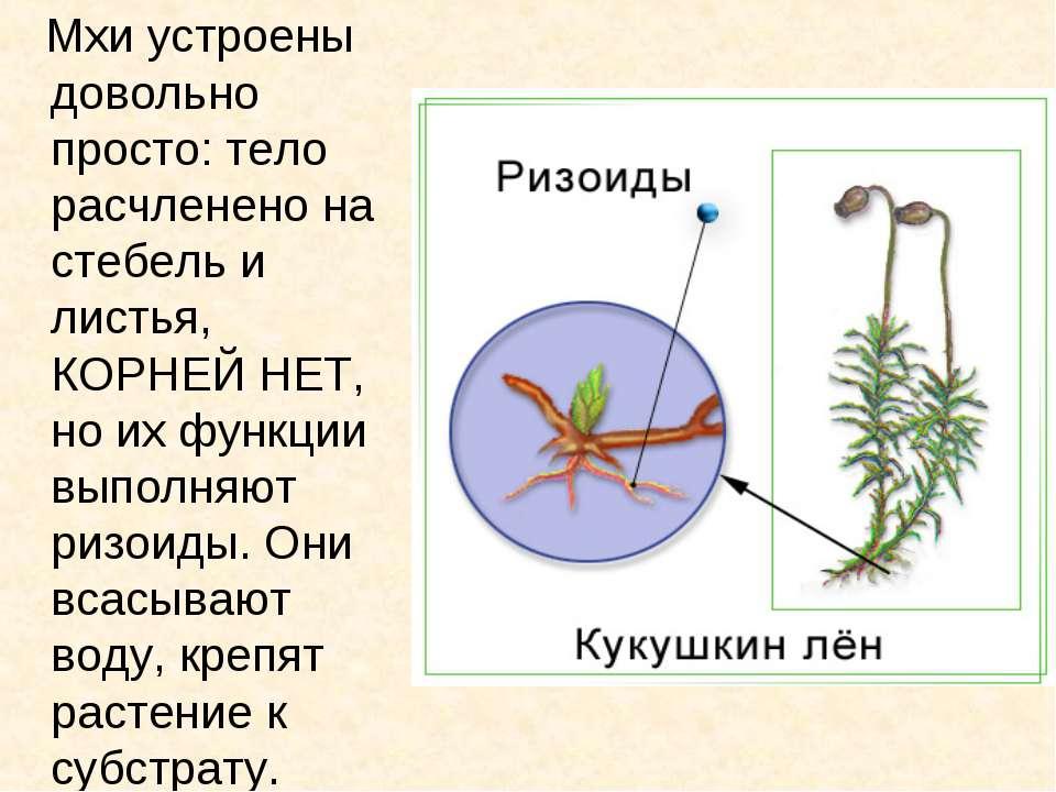 Мхи устроены довольно просто: тело расчленено на стебель и листья, КОРНЕЙ НЕТ...