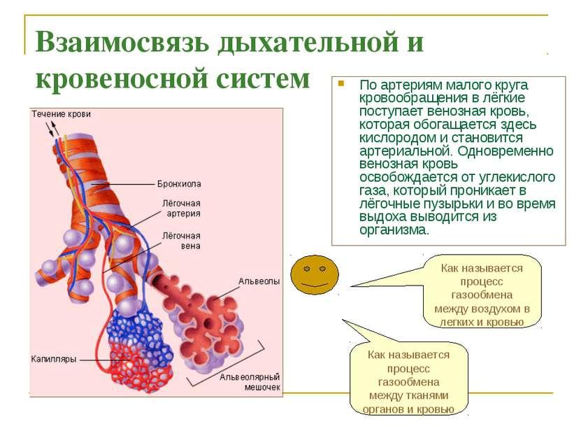 Взаимосвязь дыхательной и кровеносной систем По артериям малого круга кровооб...