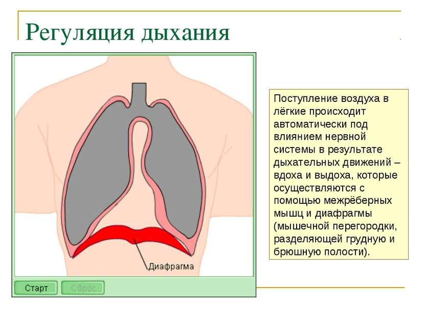 Регуляция дыхания Поступление воздуха в лёгкие происходит автоматически под в...