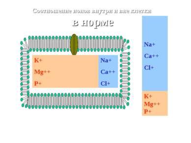К+ Mg++ P+ Na+ Ca++ Cl+ Соотношение ионов внутри и вне клетки в норме Na+ Ca+...