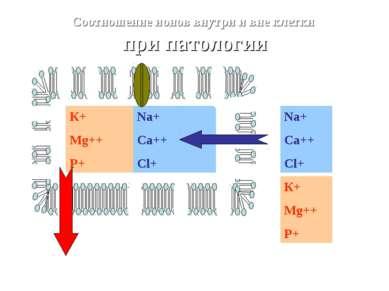 Na+ Ca++ Cl+ К+ Mg++ P+ Na+ Ca++ Cl+ Соотношение ионов внутри и вне клетки пр...