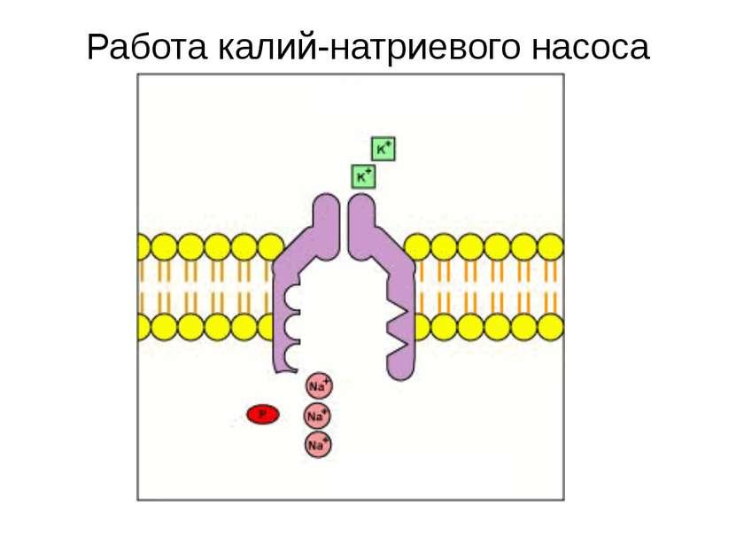 Работа калий-натриевого насоса Снаружи клетки Внутри клетки