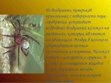 Из воздушных пузырьков приносимых с поверхности паук- серебрянка устраивает п...