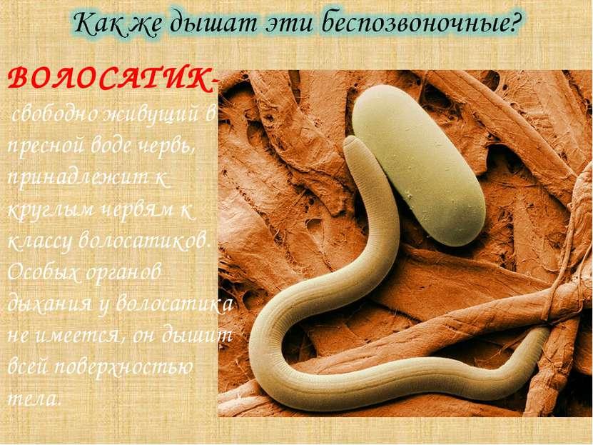 ВОЛОСАТИК- свободно живущий в пресной воде червь, принадлежит к круглым червя...