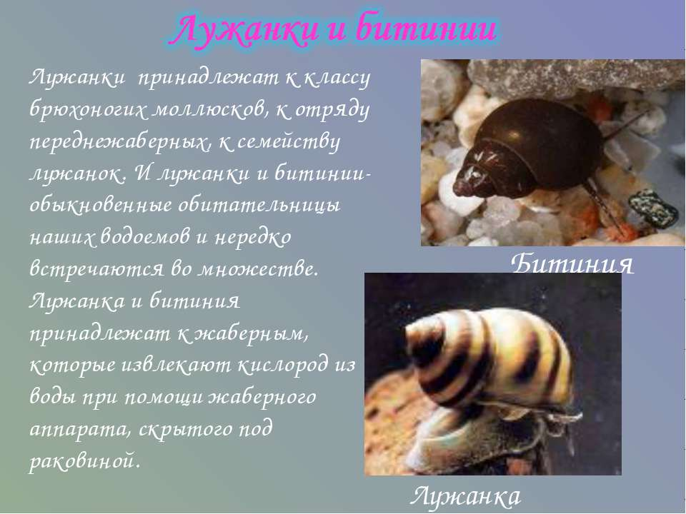 Лужанки принадлежат к классу брюхоногих моллюсков, к отряду переднежаберных, ...