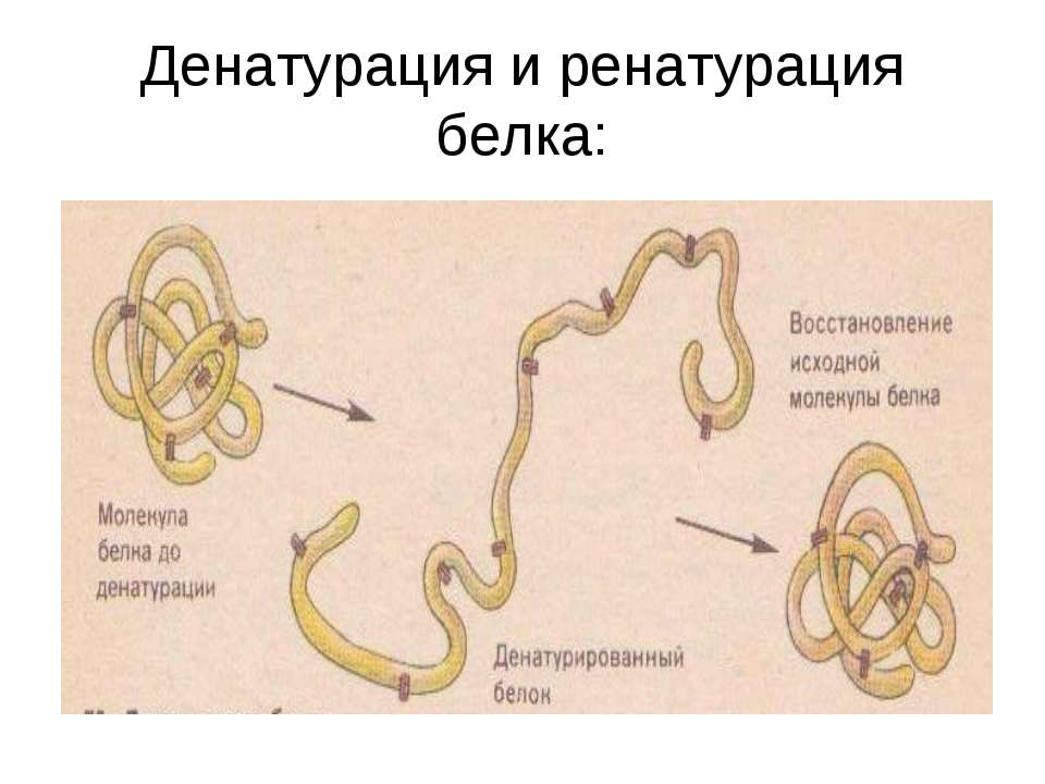 Денатурация и ренатурация белка: