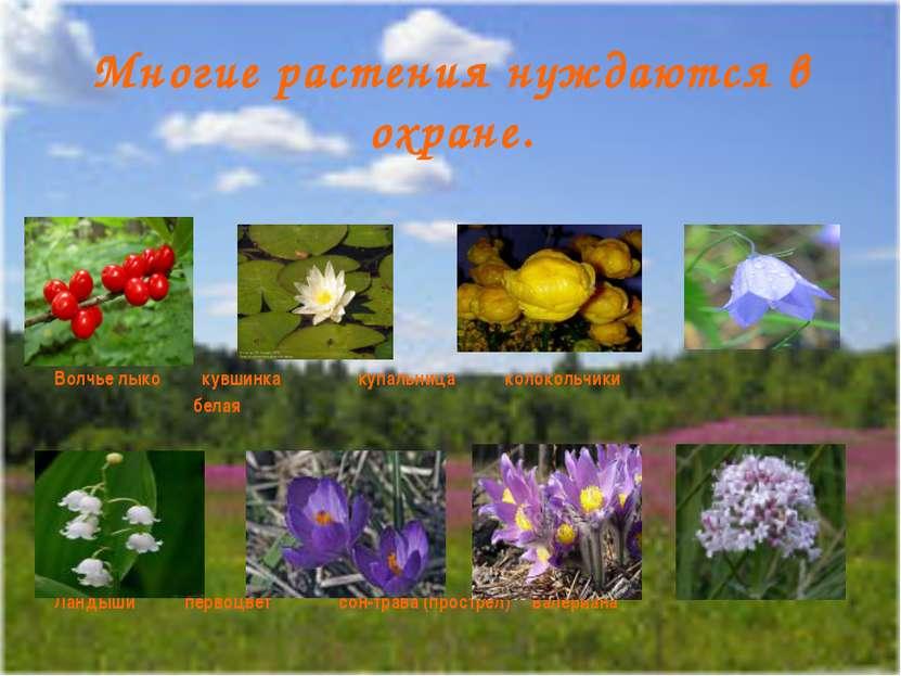 Многие растения нуждаются в охране. Волчье лыко кувшинка купальница колокольч...