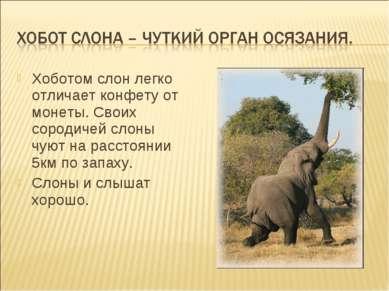 Хоботом слон легко отличает конфету от монеты. Своих сородичей слоны чуют на ...