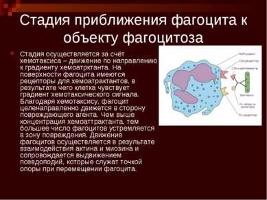 Стадия приближения фагоцита к объекту фагоцитоза Стадия осуществляется за счё...
