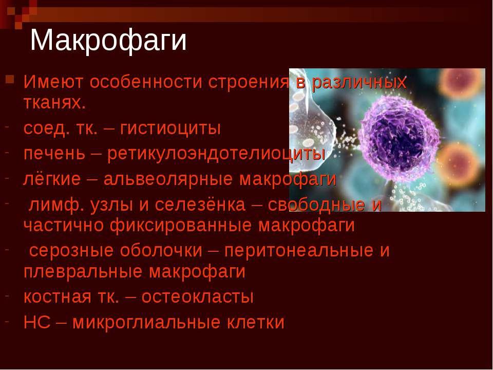 Макрофаги Имеют особенности строения в различных тканях. соед. тк. – гистиоци...