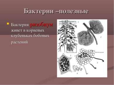 Бактерии –полезные Бактерия ризобиум живет в корневых клубеньках бобовых раст...