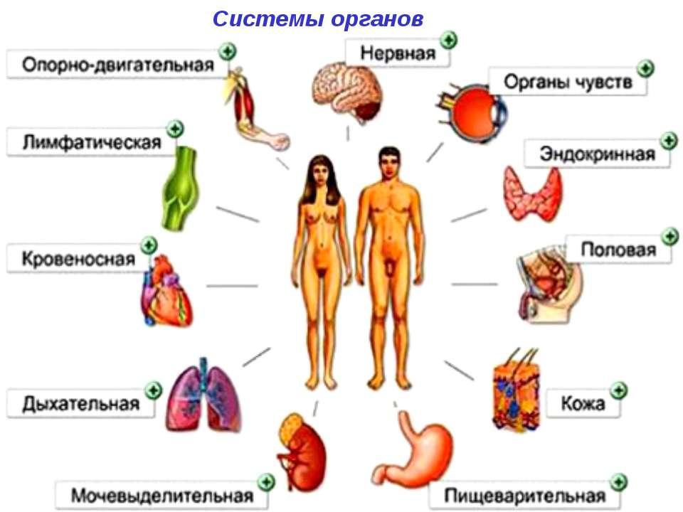 Системы органов