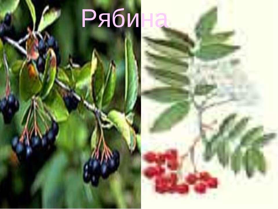Рябина включает 22-23 рода и около 600 Рябина