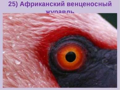 25) Африканский венценосный журавль