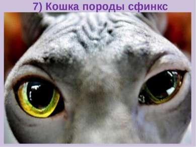 7) Кошка породы сфинкс