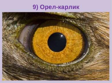 9) Орел-карлик