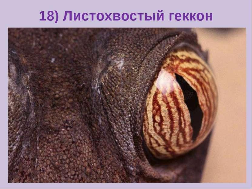 18) Листохвостый геккон