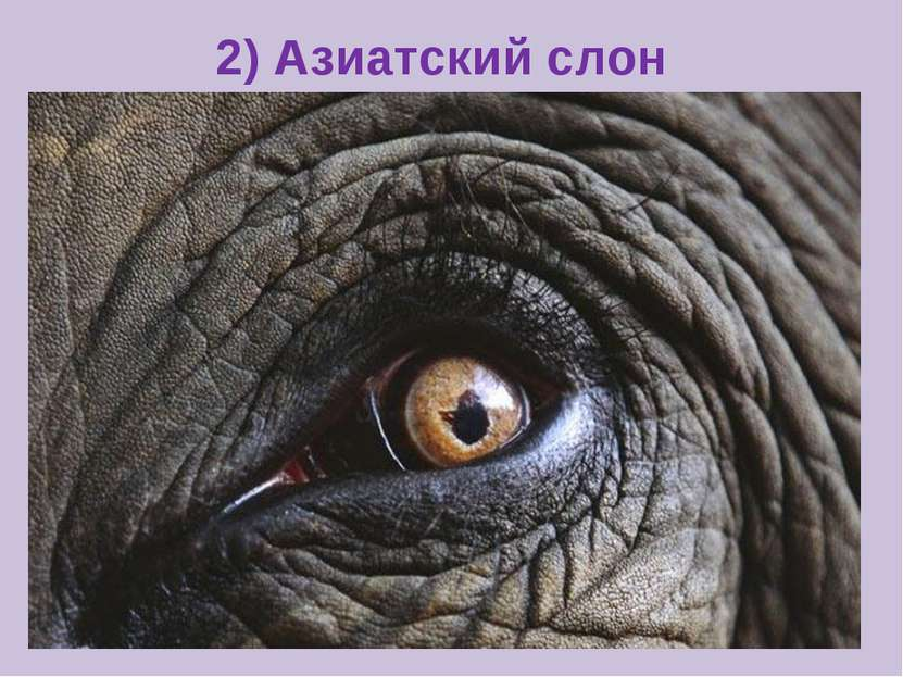 2) Азиатский слон