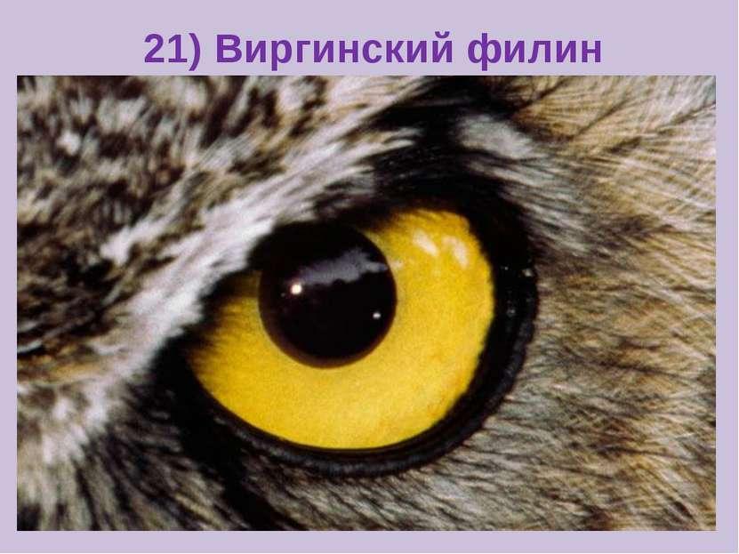 21) Виргинский филин