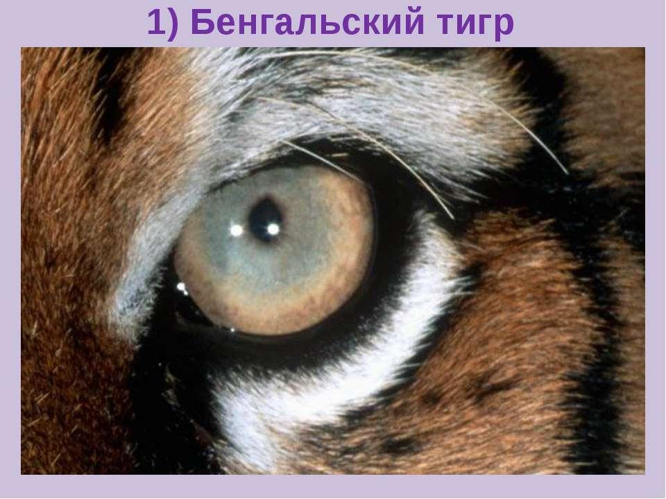 1) Бенгальский тигр