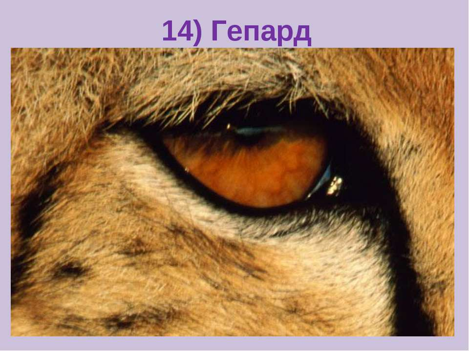 14) Гепард