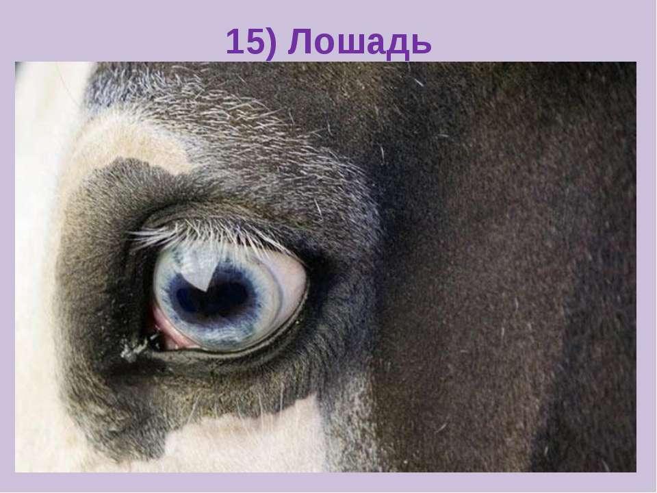 15) Лошадь