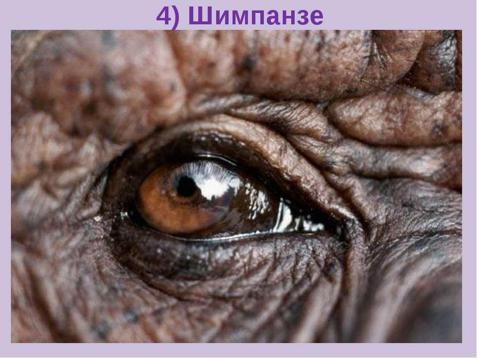4) Шимпанзе