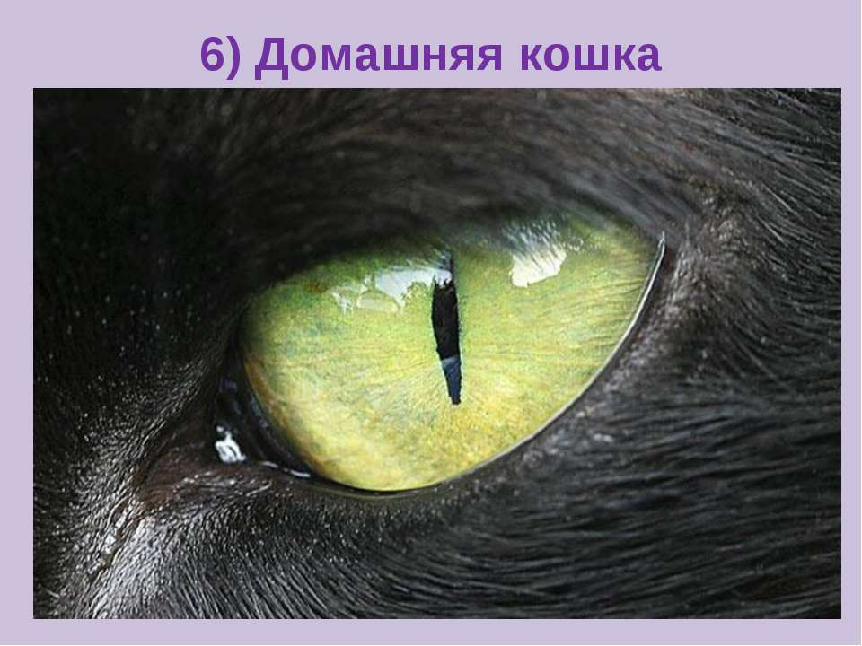 6) Домашняя кошка